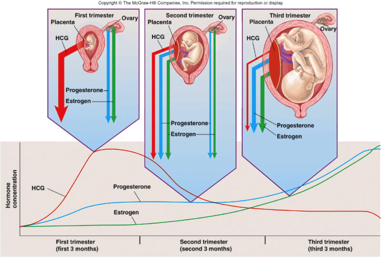Pregnancy And Hormones