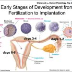 When Does Implantation Occur In Pregnancy?