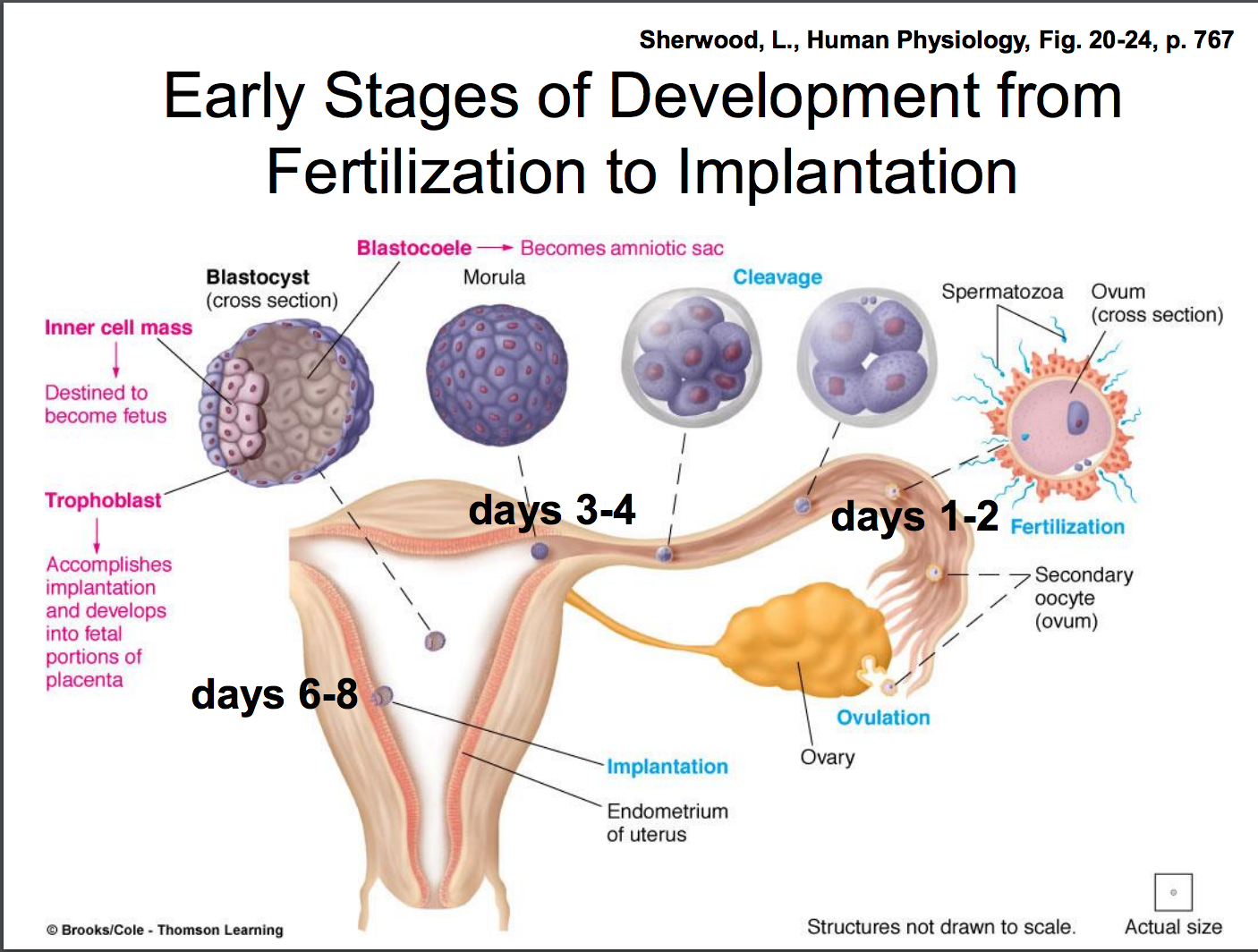 When Does Implantation Occur In Pregnancy