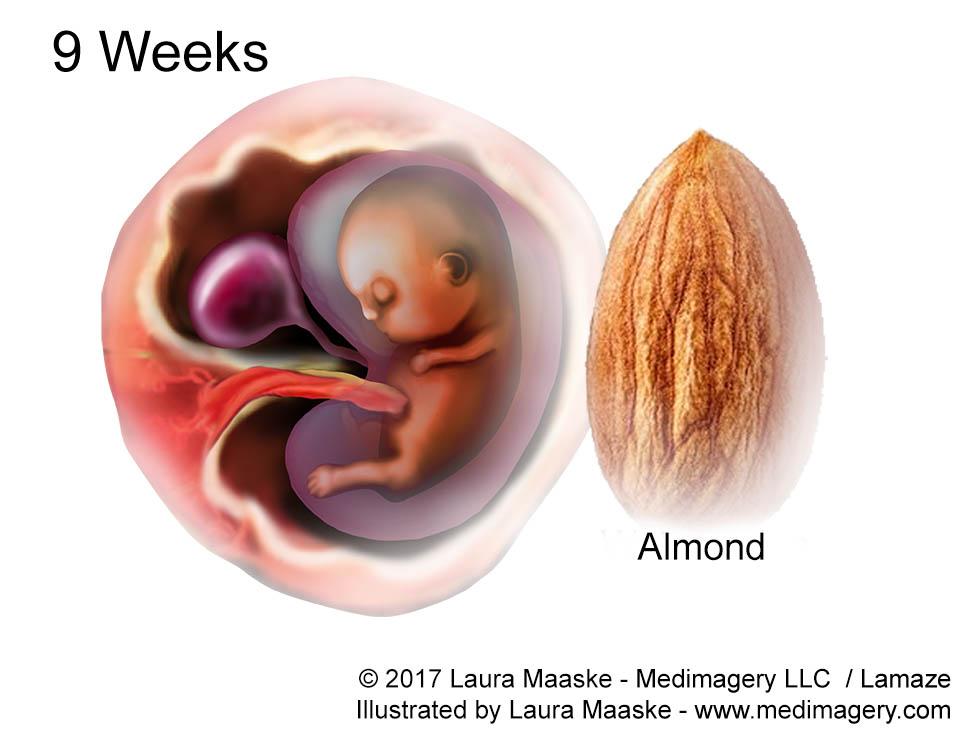 Fetal Development Week By Week 9